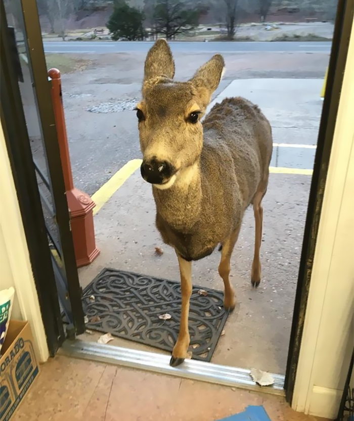 Deer walks with family into store