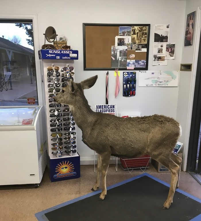Deer walks with family into store 3