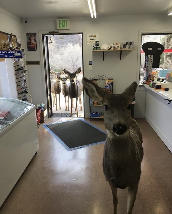 Deer walks with family into store 5