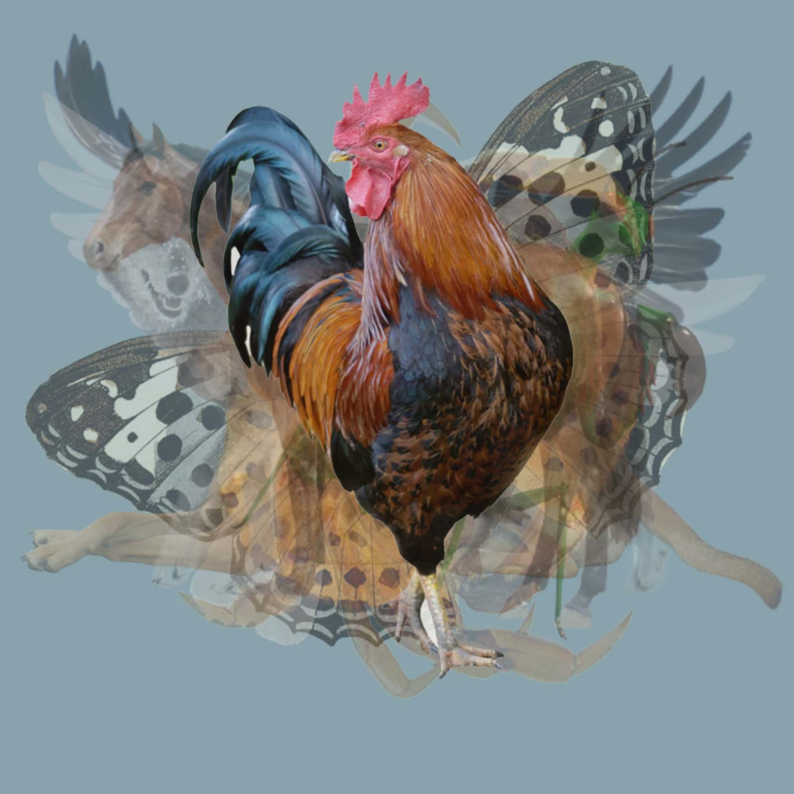 what animal rooster